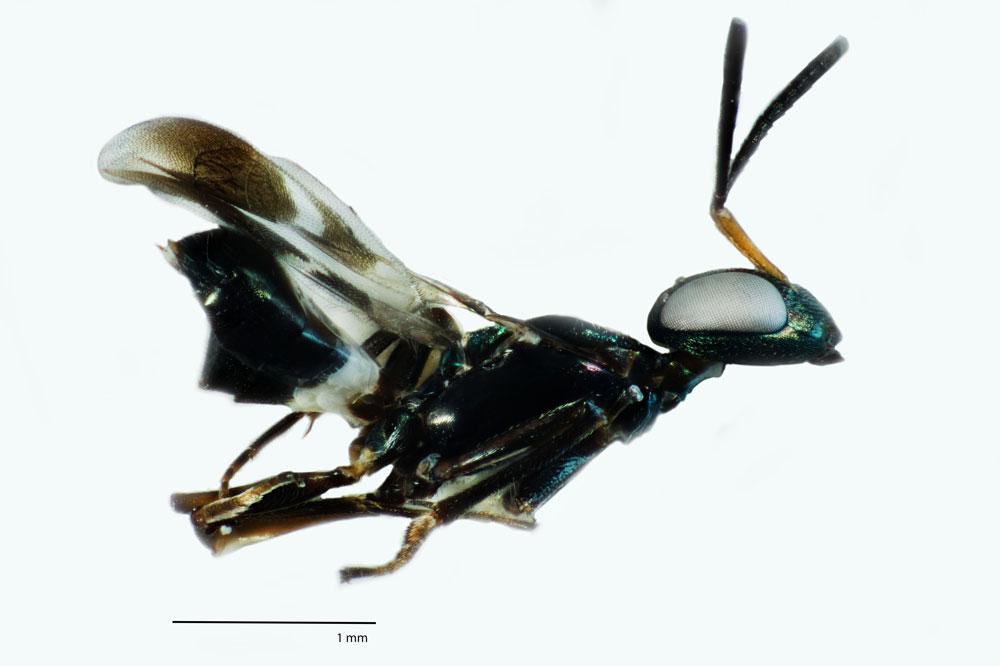 Anastatus wasp