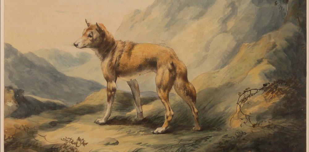 Dingo watercolour - John Hunter