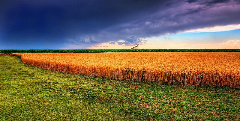 Kansas Summer Wheat & Storm Panorama